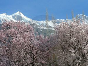 Ultar Peak with blossom season karimabad Hunza