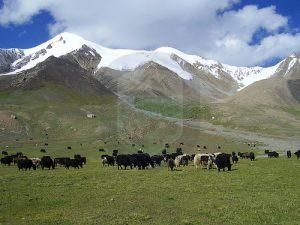 Shimshal pass Yaks grazing