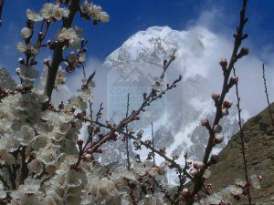 Hunza peak  (6700m) and blossom season in Hunza Valley