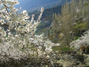 Blossom Season In Hunza Valley