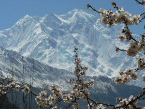 View of Rakaposhi (7788m) from Hunza in  blossom